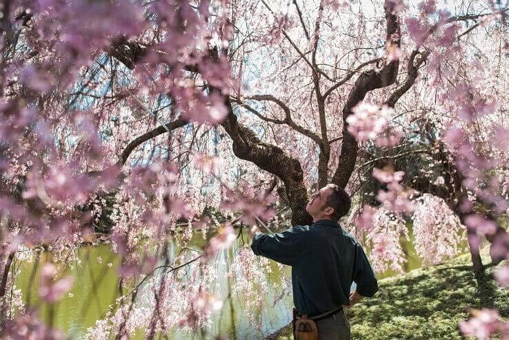 Types of cherry trees cherry tree varieties mightylinksfo