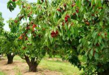 Cherry Tree review
