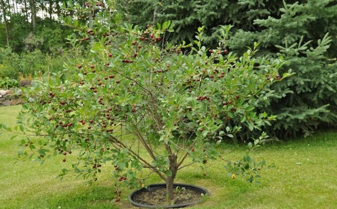 best Wild Cherry Tree review