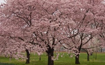 Okame Cherry Tree review