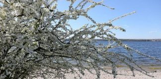 Planting a Sand Cherry Tree review