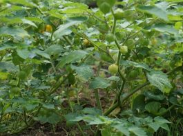 The Ground Cherry review