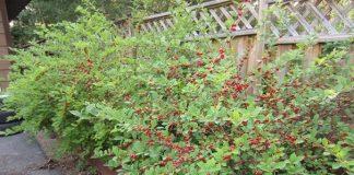best cherry bush review