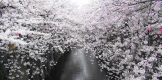 best cherry blossom branches beauty