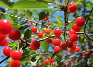 best yoshino cherry tree