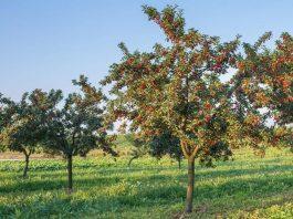 best way to growing cherry tree