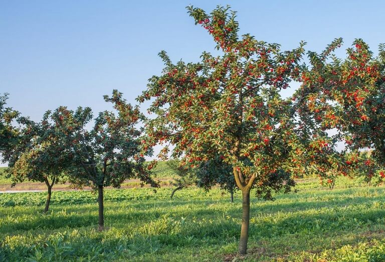 how to grow a healthy bing cherry tree for tasty fruit